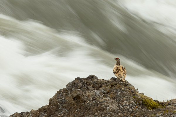 ptarmigan_looking_over_the_waterfall__3_of_3_.jpg