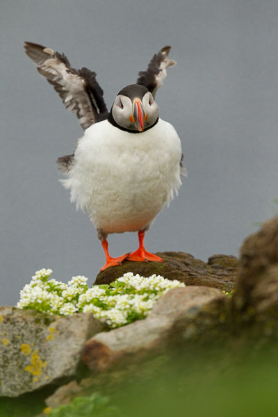 puffin_at_latrabjarg__1_of_8_.jpg
