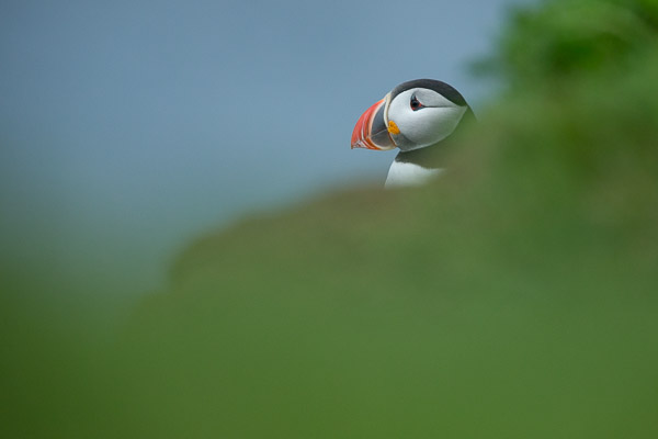 puffin_at_latrabjarg__4_of_8_.jpg