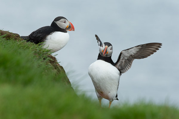 puffins_at_latrabjarg__1_of_3_.jpg