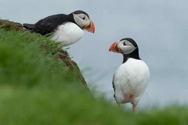puffins_at_latrabjarg__2_of_3_.jpg