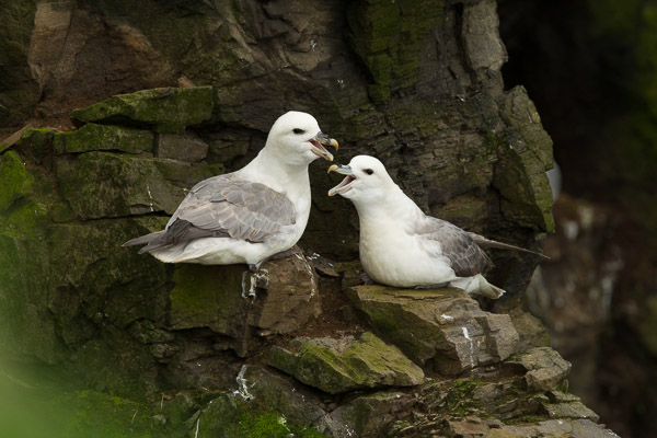 6397-fulmar_at_latrabjarg__1_of_3_.jpg