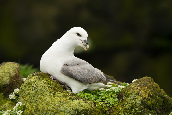 8194-fulmar_at_latrabjarg__2_of_3_.jpg