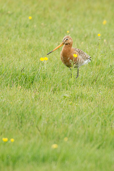 bar-tailed_godwit.jpg