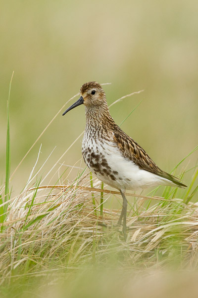 golden_plover__1_of_2_.jpg