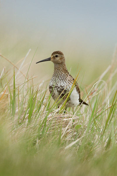 golden_plover__2_of_2_.jpg