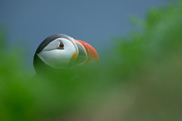 puffin_at_latrabjarg__8_of_8_.jpg