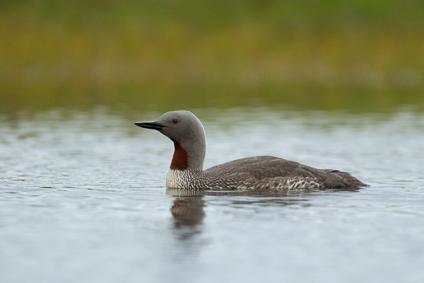 red-throated_diver__2_of_3_.jpg