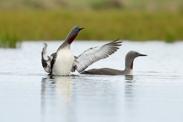 red-throated_diver_family__1_of_5_.jpg