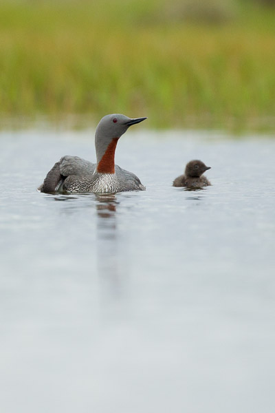 red-throated_diver_family__2_of_5_.jpg