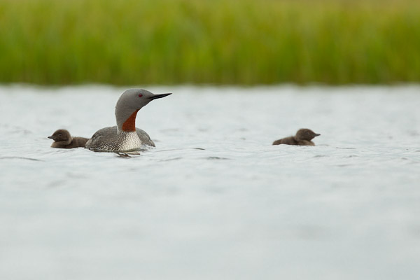red-throated_diver_family__4_of_5_.jpg