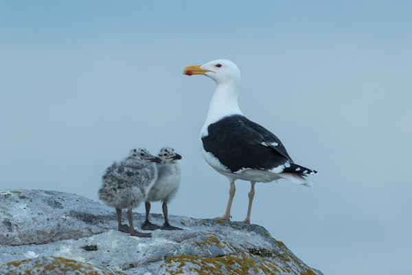 greater_black-backed_gull_family-4737.jpg