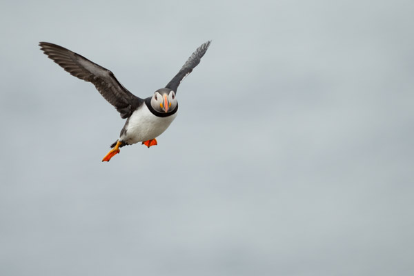 7228-puffin_flying_in.jpg