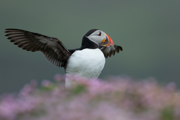 8592-puffin_in_sea_thrift__wingflapping.jpg