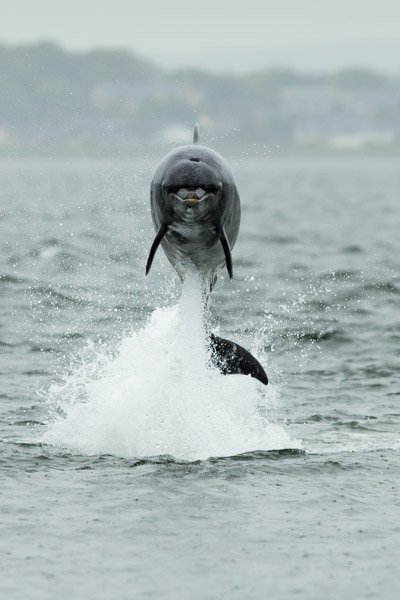 dolphin_at_chanonry_point.jpg