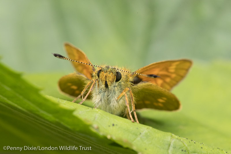 large_skipper-5123.jpg