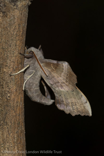 poplar_hawk-moth_side-7599.jpg