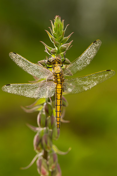 1153-black_tailed_skimmer-1.jpg