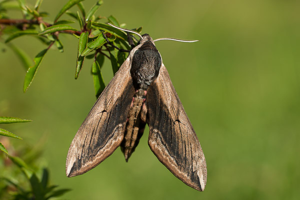 3075-privet_hawk_moth-3.jpg