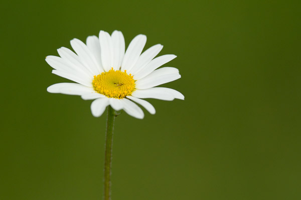 3321-ox-eye_daisy.jpg