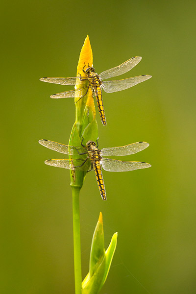 3851-black_tailed_skimmers-1.jpg