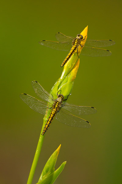 5775-black_tailed_skimmer-4.jpg