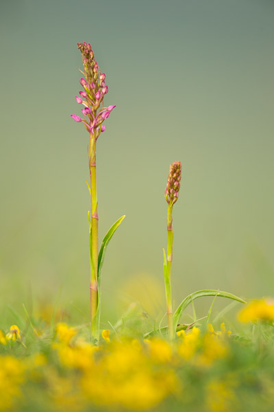 6383-fragrant_orchid_in_buttercups.jpg