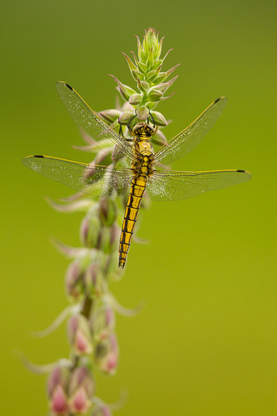 6998-black_tailed_skimmer-2.jpg