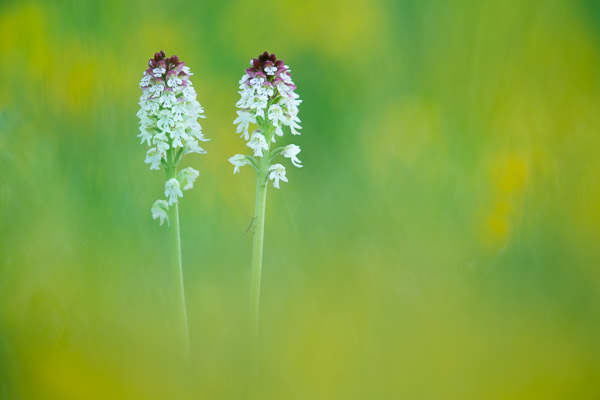 7684-burnt_tip_orchids_.jpg