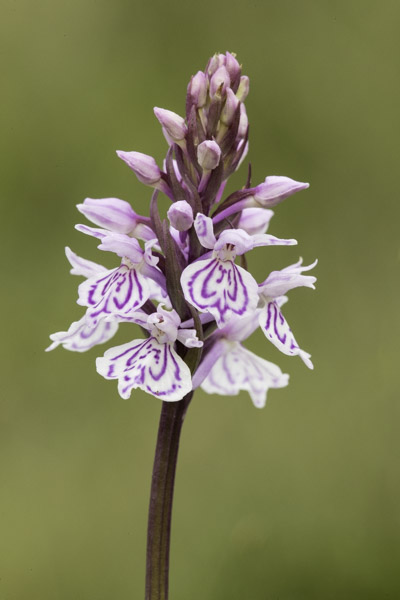 heath_spotted_orchid-8924.jpg
