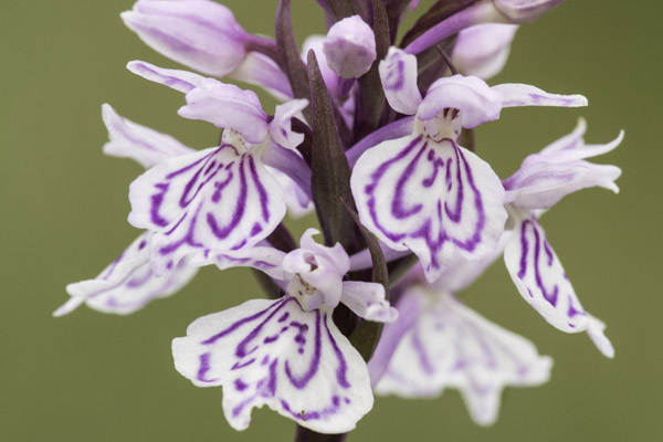 heath_spotted_orchid-8929.jpg