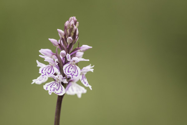 heath_spotted_orchid-8957.jpg