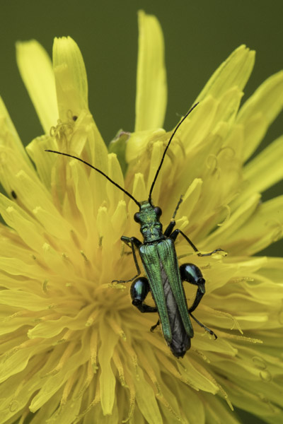 thick-thighed_beetle-9082.jpg