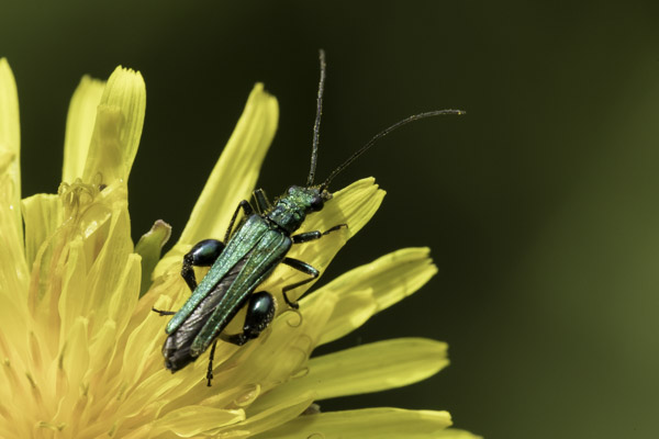 thick-thighed_beetle-9114.jpg
