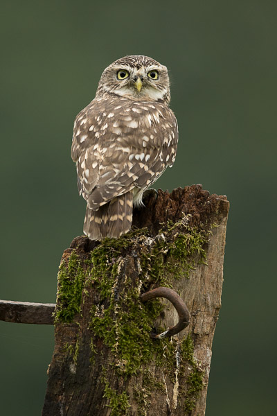 little_owl-1.jpg
