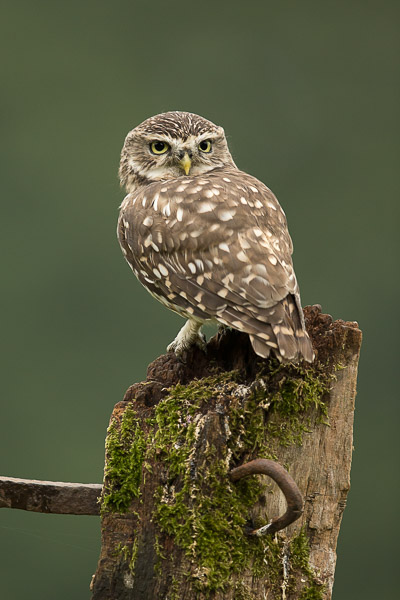 little_owl-2.jpg