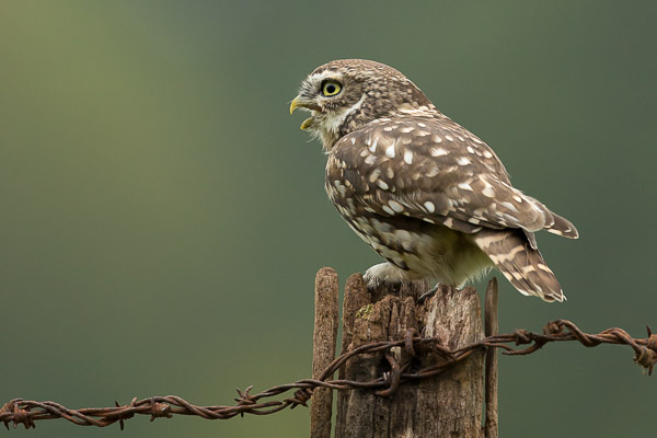 little_owl-3.jpg