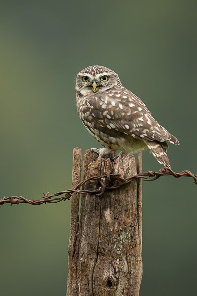 little_owl-4.jpg