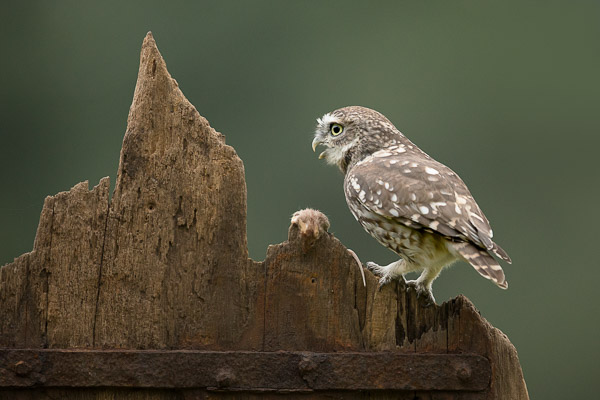 little_owl-5.jpg
