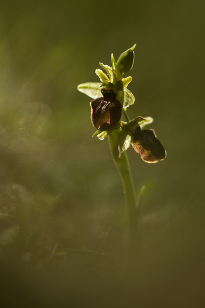 2754-early_spider_orchid_3.jpg