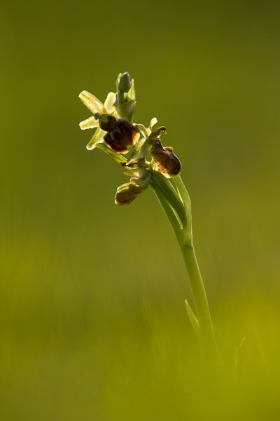 8944-early_spider_orchid_2.jpg
