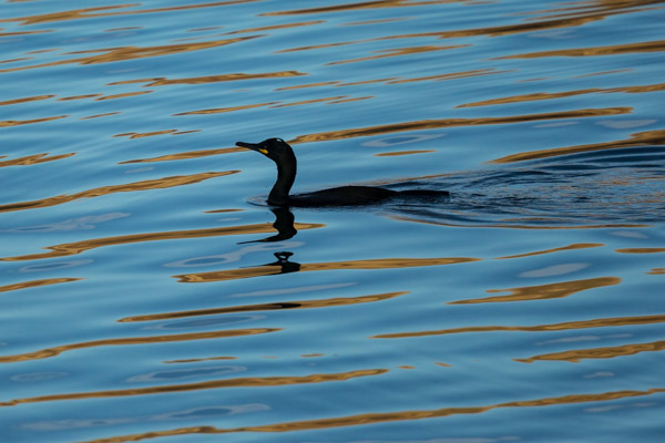 abstract_cormorant.jpg