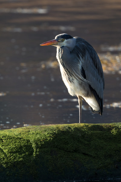 heron_backlit.jpg