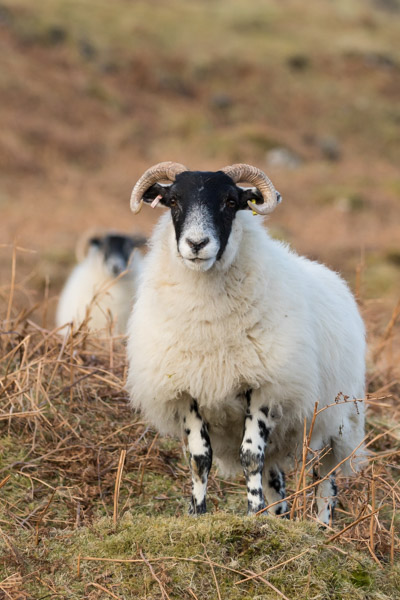mull_sheep-3.jpg