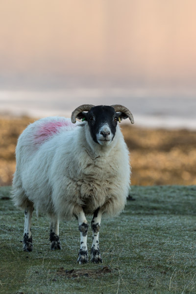 sheep_on_mull-1.jpg