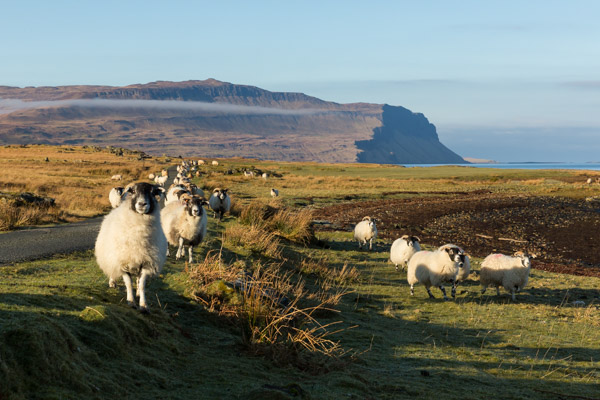 sheep_on_mull-3.jpg