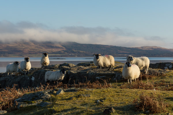 sheep_on_mull-5.jpg