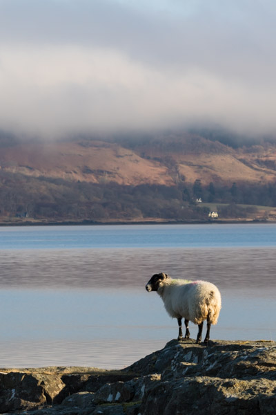sheep_on_mull-8.jpg