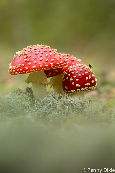 fly_agaric_with_fly.jpg
