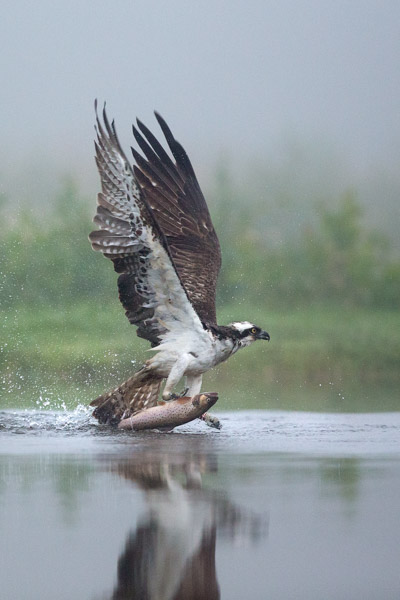 osprey_fishing_in_the_mist_2.jpg